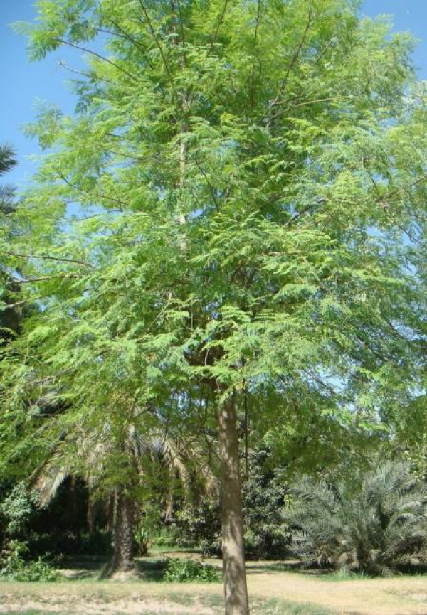 The Moringa